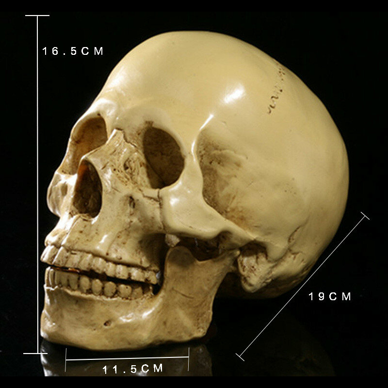 BUF-نموذج جمجمة طبية من الراتينج ، مقياس 1:1 ، ديكور منزلي ، نحت ، هدية هالوين